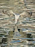 gull immagine stock