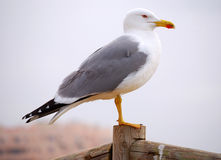 Gull Stock Photography