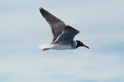 Gull 17 Royalty Free Stock Image