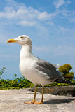 Gull Royalty Free Stock Photos