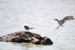 Free Gull Royalty Free Stock Image - 26447976