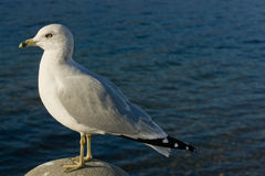 Gull 3. A big white gull watching horizon in a sunny day Royalty Free Stock Photo