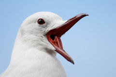 Gull. Close up of the head of a sea gull Stock Photo