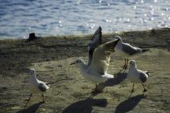 gull Imagem de Stock