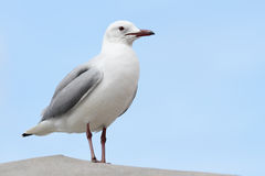 Gull. Close up of a sea gull sitting on a concrete pillar Stock Images