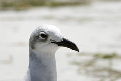 Gull. A head shot of a sea gull Stock Images