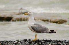 gull Royalty-vrije Stock Fotografie