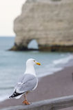gull Foto de Stock Royalty Free