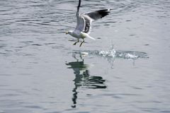 Gull. Eating in green river stock photos