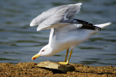A gull. A beautiful gull an a cliff royalty free stock images