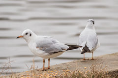 gull Imagenes de archivo