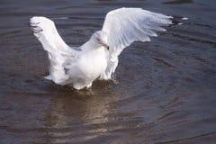 Free Gull Stock Photos - 7830563
