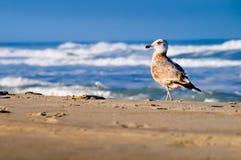 gull Imagens de Stock Royalty Free