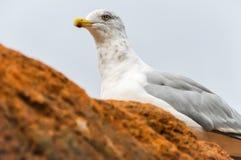 gull Foto de Stock