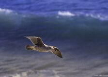 Gull Royalty Free Stock Images