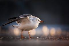 gull Foto de archivo libre de regalías