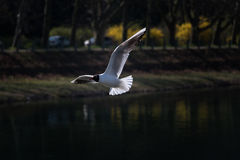 Gull2 Arkivbild