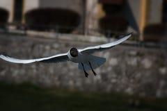 Gull4 Arkivbilder