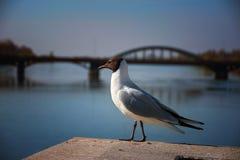 Gull6 Fotografering för Bildbyråer