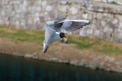 Gull1 Arkivfoton