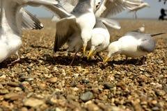 gull fotografia stock