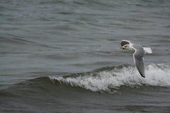 gull Imagens de Stock