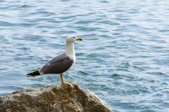 gull Imagen de archivo