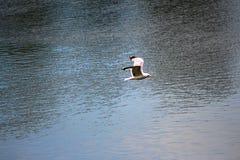 gull Fotografia Stock Libera da Diritti