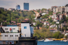Gull Above the Bosphorus Stock Images