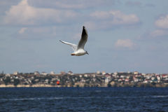 Gull above river Stock Images
