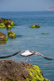 Gull Above Sea Royalty Free Stock Photos