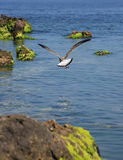 Gull Above Sea Royalty Free Stock Images