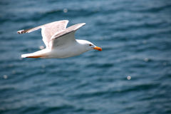 Gull Above Sea Royalty Free Stock Photo