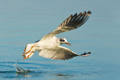 Gull in action Royalty Free Stock Photography