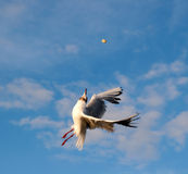 Gull Aerialist. Seagull in the pursuit of bread crumb Royalty Free Stock Photography