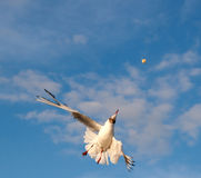 Gull Aerialist in the light of the setting sun. Seagull in the pursuit of bread crumb Stock Image
