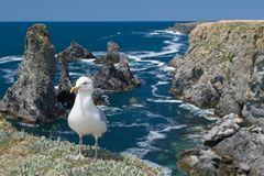 The gull in Aiguilles de Port-Coton Royalty Free Stock Photo