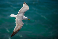 Gull in the air above the water with spread wings (Larus ridibundus) Royalty Free Stock Images