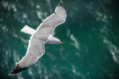 Gull in the air above the water with spread wings (Larus ridibundus) Stock Photo