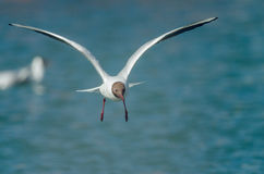 Gull in air. Front side. Stock Images