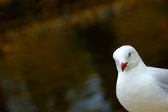 Gull on the alert. A Silver Gull (Larus novaehollandiae) looking diagonally in to the image from the right. Space for text on the out-of-focus water background Stock Photo