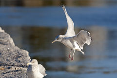 Gull Landing Granite Wall Stock Images