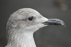 Gull baby , looking nice Stock Photos