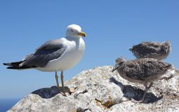 Gull with babys Stock Images
