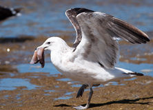 Gull with bait Royalty Free Stock Photography
