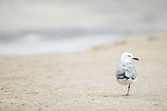 Gull on the beach Stock Images