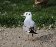 Gull on beach Royalty Free Stock Images