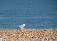 Gull on the beach. Brown stones, blue water royalty free stock images