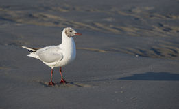 Gull on a beach Royalty Free Stock Image