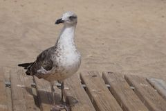 Gull at the beach. Of Costa Calma - Fuerteventura Stock Photography